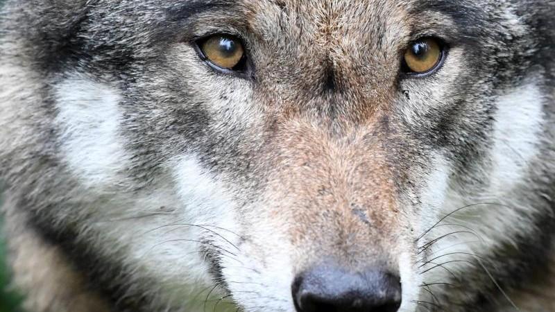 Albrecht: Wolf GW1430m hat Schleswig-Holstein verlassen