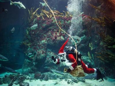 Brauchtum – Tönning: Der Nikolaus taucht im Multimar Wattforum ab