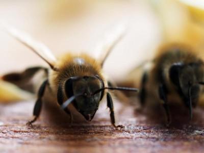 Gesundheit: Australiens Bienen-Importe wegen Corona-Pandemie in Gefahr