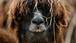 Das südamerikanische Alpaka ist auch in Deutschland beliebt: Es hat ein wertvolles Vlies und einen sanften Charakter.
