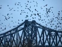 Krähen über Rendsburger Hochbrücke