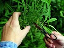 Marihuana-Ernte in Tschechien