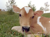 MILLIE THE CLONED CALF AT THE UNIVERSITY OF TENNESEE