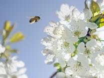 Kirschblüte im Alten Land bei Lühe