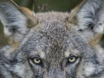 Tame wolf is seen in the village of Nadbiarezha