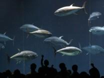 Pacific bluefin tuna swim in a fish tank at Tokyo Sea Life Park in Tokyo