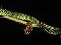 Fliegende Schlange