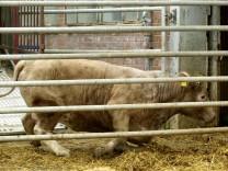 Kuh stolpert in einen Schlachthof währen der BSE-Krise 2001D