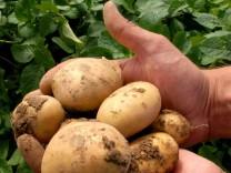 Naturschutztagen am Bodensee - Gen-Kartoffel 'Amflora'