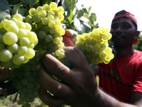A seasonal worker cuts Chardonnay wine grapes in Arzelle vineyard in Franciacorta