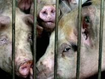 Erstmals auch stark erhoehter Dioxinwert in Schweinefleisch nachgewiesen