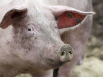A pigs is pictured at an ecological pig farm in Germering