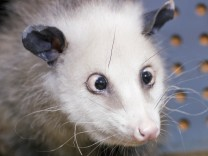 Opossum Heidi - Höhenflug einer schielenden Beutelratte