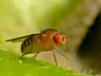 Drosophila Fruchtfliege