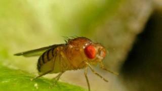 Drosophila Fruchtfliege
