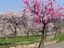 Ein Frühlingserwachen in Rosa: Pfälzer Mandelblüte