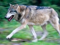 Wölfe durch Jagd und Inzucht bedroht