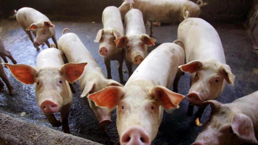 Schweinegrippe - Schweinefarm in Indonesien