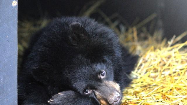 Schwarzbär American Black Bear