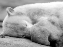Knut schwarzweiß