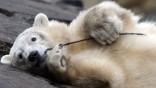 Eisbaer Knut ist tot
