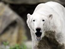 Magazin: Epileptischer Anfall ist Grund fuer Tod des Eisbaeren Knut