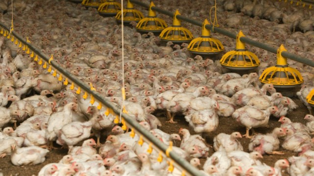 Mehr Antibiotika in Hühnerställen