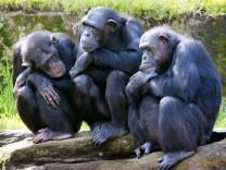 Schimpansen bilden Freundschaften