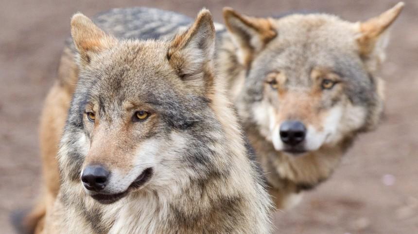 Hoffnung auf Wolfsnachwuchs in Brandenburg