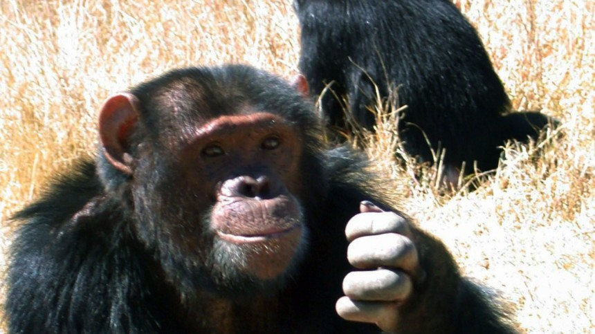 Schimpansen rauben für den Paarungserfolg