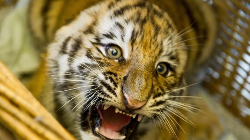 Sibirische Tigerbabys heißen Josef und Victor