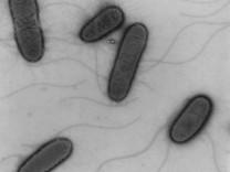 Darmbakterium EHEC