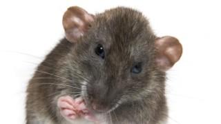 Japanische Studie So Hilfsbereit Sind Ratten Wissen Süddeutschede