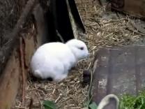 Kaninchen ohne Ohren geboren