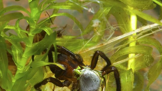 Wissenschaft: Wasserspinnen bauen ueberraschend effektive Taucherglocken