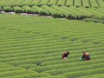 Tee-Ernte in Japan