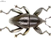Rüsselkäfer mit eingeschraubtem Bein