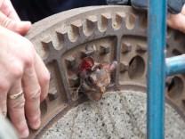 Eingeklemmtes Eichhoernchen aus Gullydeckel befreit