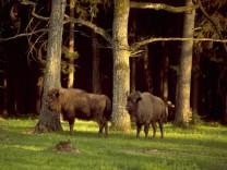 Europas letzter Urwald: Der Bialowieza Nationalpark in Polen