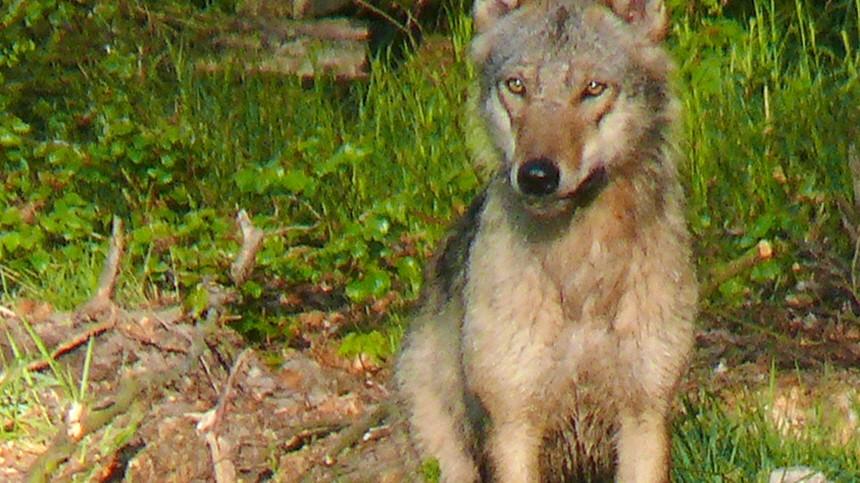 Können wölfe bellen