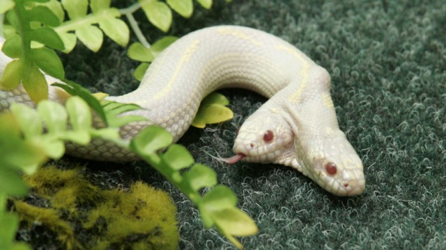 A rare two-headed snake explores its surroundings in a private zoo in the Crimean town of Yalta