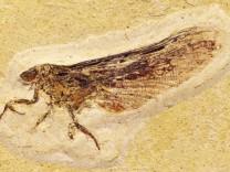 Fossil eines bizarren Insekts entdeckt