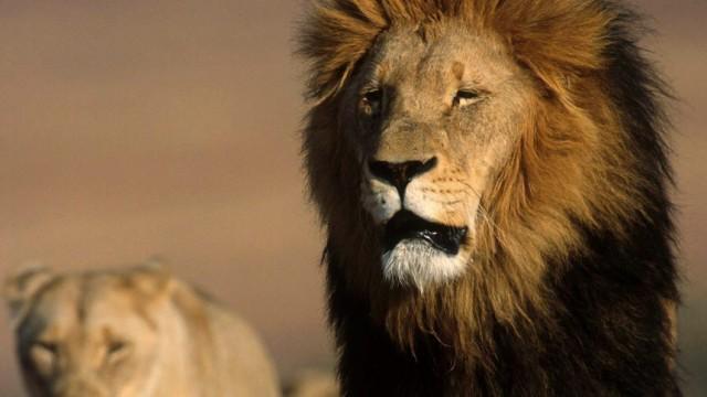 Löwen in Afrika bedroht