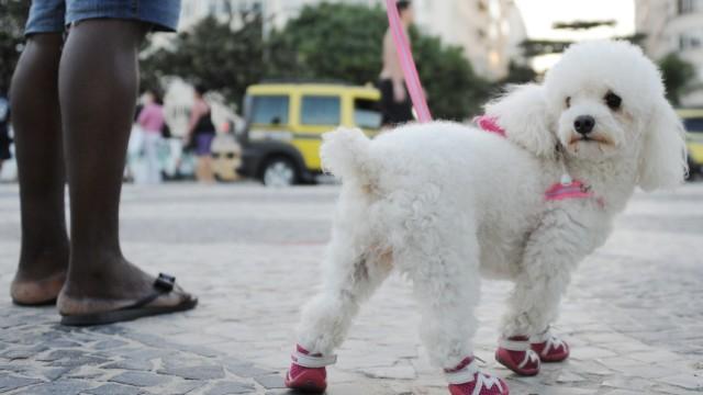Image result for Poodles Hund glücklich