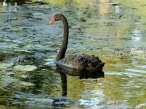 Schwan auf verschmutztem See