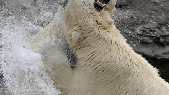 Eisbaeren im Zoo Hannover