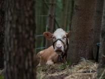 Suche nach Ausreißer-Kuh Yvonne