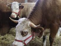 Kuh Yvonne bleibt vorerst im Stall