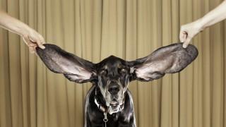 Weltrekord Weltrekord: Längste Hundeohren