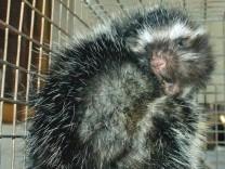 Verhaltensbiologie: Mähnenratten haben die Haare schön – und giftig